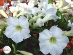 white Indoor Flowers Desert Rose tree, Adenium Photo