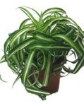 Photo Spider Plant  description
