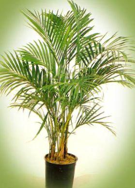 Verde plantas de sal n palma rizada kentia palma palma - Planta de salon ...