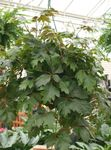 Photo Grape Ivy, Oak Leaf Ivy Hanging Plant description