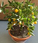 Photo Calamondin Tree description