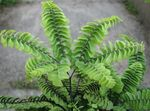 Photo Maidenhair Fern Herbaceous Plant description