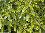 Photo Japanese Laurel, Pittosporum tobira Shrub description