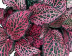 motley Fittonia, Nerve Plant Photo