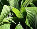 Photo Curculigo, Palm Grass Herbaceous Plant description