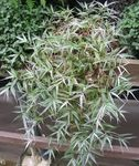 Photo Variegated Basketgrass Hanging Plant description
