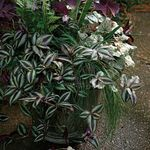 Photo Wandering Jew Hanging Plant description