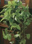 Photo Epipremnum Hanging Plant description