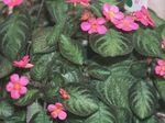 Photo Flame Violet,  Hanging Plant description