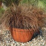 Foto Carex, Juncia Herbáceas descripción