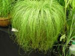 Photo Carex, Sedge Herbaceous Plant description