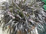 Photo Black Dragon, Lily-turf, Snake's beard Herbaceous Plant description
