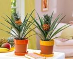 Photo Pineapple Herbaceous Plant description