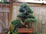 Photo Japanese Yew Tree description