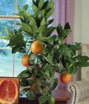 Photo Sweet Orange Tree description
