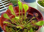 Photo Round-leaved sundew Herbaceous Plant description
