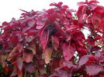 Photo Fire Dragon Acalypha, Hoja de Cobre, Copper Leaf Shrub description