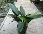 Photo Aspidistra, Bar Room Plant, Cast Iron Plant  description