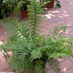 Photo Spleenwort Herbaceous Plant description
