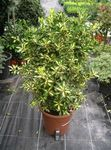 motley Indoor Plants Japanese spindle shrub, Euonymus japonica Photo