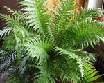Photo Hard Fern Herbaceous Plant description