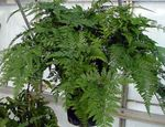 Photo Hare's Foot Fern Herbaceous Plant description