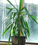 Photo Dracaena Herbaceous Plant description