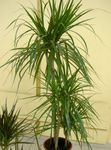 green Indoor Plants Dracaena Photo