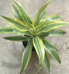 Photo Dracaena Herbeux la description