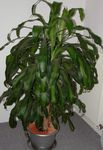 motley Indoor Plants Dracaena Photo