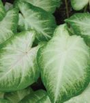 Photo Caladium Herbaceous Plant description
