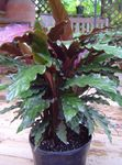 Photo Calathea, Zebra Plant, Peacock Plant  description