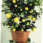 Photo Lemon Tree description