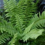 Photo Sword Ferns Hanging Plant description