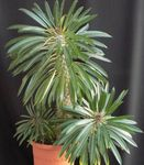 Photo Pachypodium Herbaceous Plant description