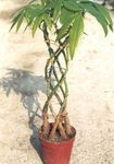Photo Guiana chestnut, Water Chestnut Tree description