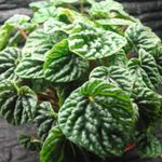 Photo Radiator Plant, Watermelon Begonias, Baby Rubber Plant  description