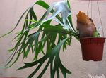 Photo Staghorn Fern, Elkhorns Herbaceous Plant description