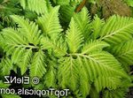 Photo Selaginella Herbaceous Plant description