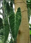 Photo Philodendron liana  description