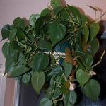 Photo Philodendron Liane  la description