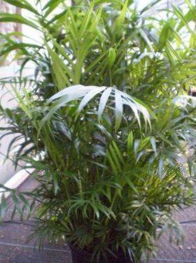 Indendors Planter Bambus Palme Chamaedorea Foto Voksende Og